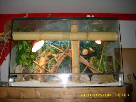 2 phelsuma standingis mit aufzuchtbecken