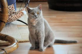 Foto 2 2 reizende Britisch Kurzhaar Katzen (BKH)