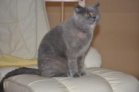 Foto 3 2 reizende Britisch Kurzhaar Katzen (BKH)