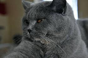 Foto 4 2 reizende Britisch Kurzhaar Katzen (BKH)