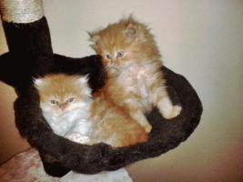 2 rote Perserbabys m. P. suchen neue Katzeneltern