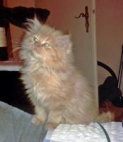 Foto 7 2 rote Perserbabys m. P. suchen neue Katzeneltern