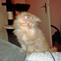 Foto 8 2 rote Perserbabys m. P. suchen neue Katzeneltern