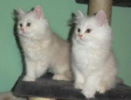 2 schöne reinrassige Perser-Kätzchen