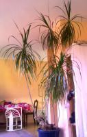 Foto 3 2 schöne, große Zimmerpflanzen
