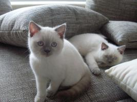 2 süße BKH Katzen suchen ein liebevolles Zuhause