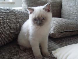 Foto 2 2 süße BKH Katzen suchen ein liebevolles Zuhause