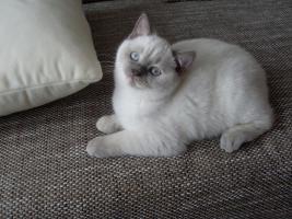 Foto 3 2 süße BKH Katzen suchen ein liebevolles Zuhause