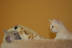 2 süße Burma Burmesen Kitten Farben: creme u. lilac-tortie abgabebereit