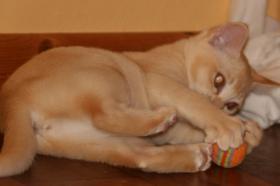 Foto 2 2 süße Burma Burmesen Kitten Farben: creme u. lilac-tortie abgabebereit