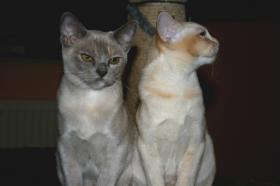 Foto 3 2 süße Burma Burmesen Kitten Farben: creme u. lilac-tortie abgabebereit