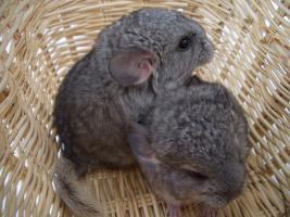2 süße Chinchilla Standard AVT Weibchen suchen bald ein neues zu Hause