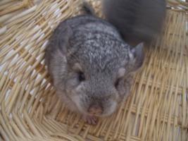 Foto 2 2 süße Chinchilla Standard AVT Weibchen suchen bald ein neues zu Hause