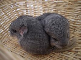 Foto 3 2 süße Chinchilla Standard AVT Weibchen suchen bald ein neues zu Hause