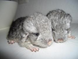 Foto 6 2 süße Chinchilla Standard AVT Weibchen suchen bald ein neues zu Hause