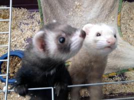2 süße Frettchen mit käfig suchen ganz dringend neues zuhause