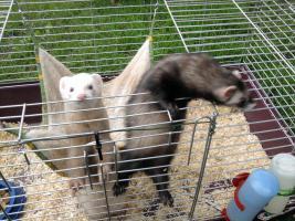 Foto 2 2 süße Frettchen mit käfig suchen ganz dringend neues zuhause