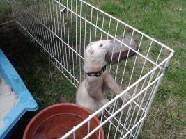 Foto 11 2 süße Frettchen mit käfig suchen ganz dringend neues zuhause