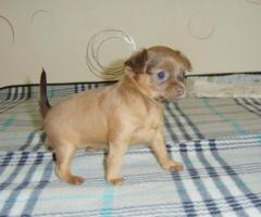 2 süße Toy-Terrier-Welpen zu verkaufen!
