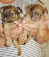 Foto 2 2 süße Toy-Terrier-Welpen zu verkaufen!