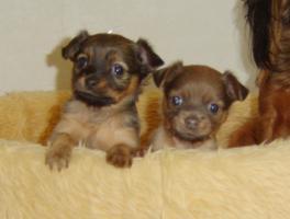 Foto 3 2 süße Toy-Terrier-Welpen zu verkaufen!