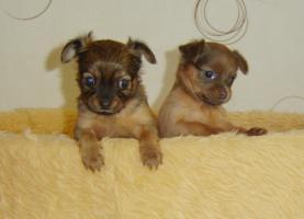 Foto 4 2 süße Toy-Terrier-Welpen zu verkaufen!