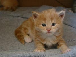 2 s��e gesunde Maine Coon Katzenbabys in creme white und red silver mac mit Papieren