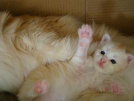 Foto 2 2 süße gesunde Maine Coon Katzenbabys in creme white und red silver mac mit Papieren