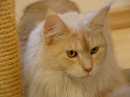 Foto 3 2 s��e gesunde Maine Coon Katzenbabys in creme white und red silver mac mit Papieren