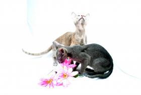 Foto 2 *****2 super liebe OKH Kitten abzugeben*****
