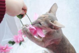 Foto 4 *****2 super liebe OKH Kitten abzugeben*****