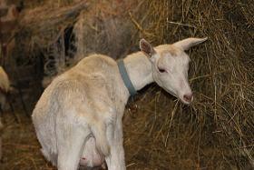 Foto 2 2 weibliche weiße Ziegen zu verkaufen