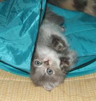 2 wunderhübsche German Angora® Kitten weibl. m. Pap. abzugeben