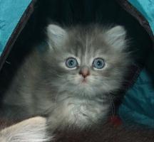 Foto 2 2 wunderhübsche German Angora® Kitten weibl. m. Pap. abzugeben