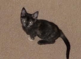 Foto 2 2 wunderschöne Schildpatt Kätzchen suchen ein neues Zuhause