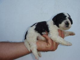 2 x Spanischer Wasserhund  Welpen Perro de agua reinrassig