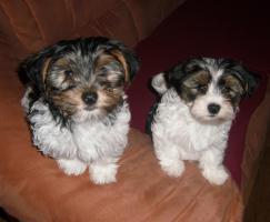 2 zuckersüße Biewer- Yorkshire Terrier (Rüden), ab sofort