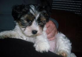 Foto 2 2 zuckersüße Biewer- Yorkshire Terrier (Rüden), ab sofort