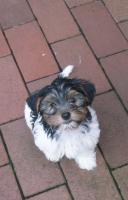 Foto 3 2 zuckersüße Biewer- Yorkshire Terrier (Rüden), ab sofort