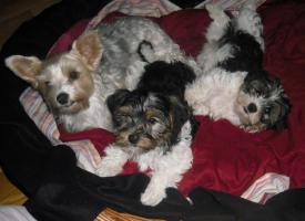 Foto 4 2 zuckersüße Biewer- Yorkshire Terrier (Rüden), ab sofort