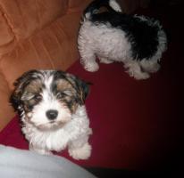 Foto 6 2 zuckersüße Biewer- Yorkshire Terrier (Rüden), ab sofort