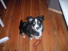 20 Wochen alten Border Collie-Welsh Corgie Mix