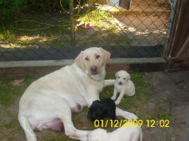Foto 12 20 kleine süße Labrador Welpen