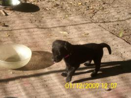 20 kleine süße Labrador welpen
