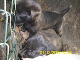 Foto 8 20 kleine s��e Labrador welpen