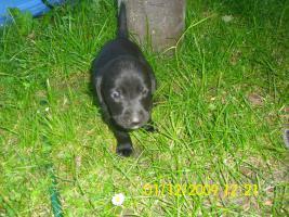 Foto 11 20 kleine s��e Labrador welpen