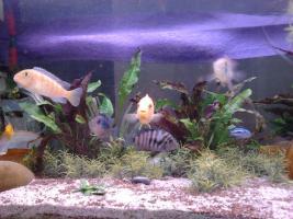 Foto 2 260 liter Aquarium zu Verkaufen mit alles an Zubehör und Fischen