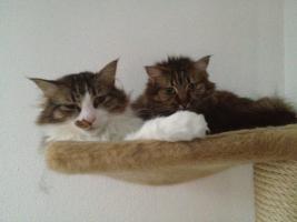 Foto 5 2Traum Katzen suchen ein liebe volles zu Hause