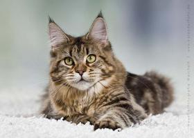 2j�hrige Maine Coon Katze
