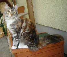 Foto 2 2jährige Maine Coon Katze